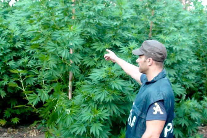 Blitz antidroga dei Carabinieri: sequestrate 400 piante di marijuana