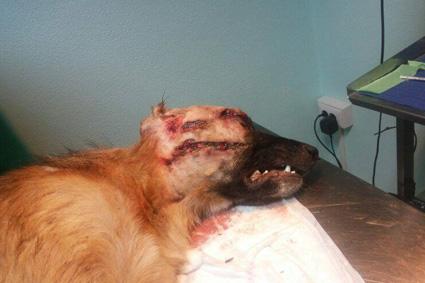 cane ucciso a colpi di pallini (Foto Anpana)