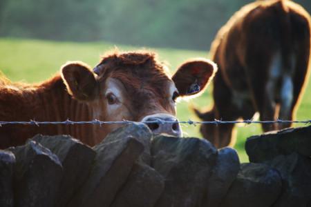 Alcuni capi bovini