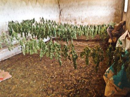 La marijuana posta a essiccare