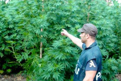 Le piante di marijuana sequestate