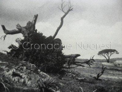 IL resti del Vecchio e, a destra, l'altro pino di Grazia Deledda (foto Remo Branca)
