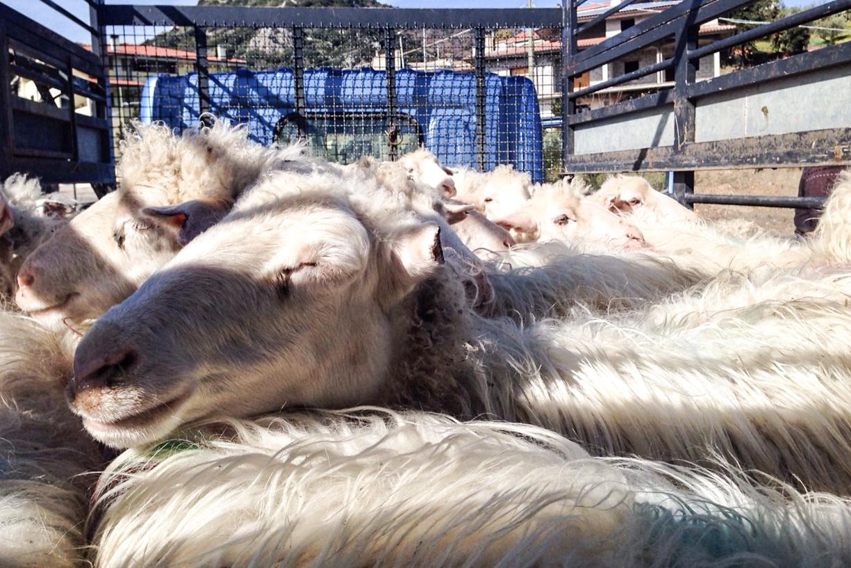 Alcuni dei capi ovini rubati scoperti oggi a Silanus