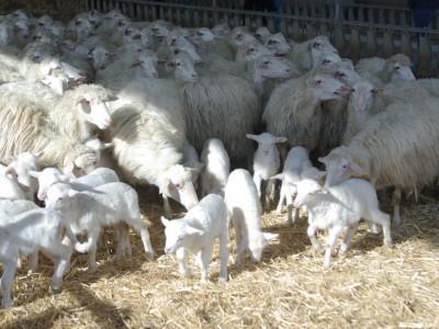 Pecore e agnelli di razza sarda