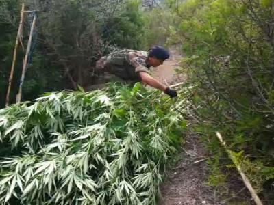 Alcune delle piante di marijuana sequestrate a Talana
