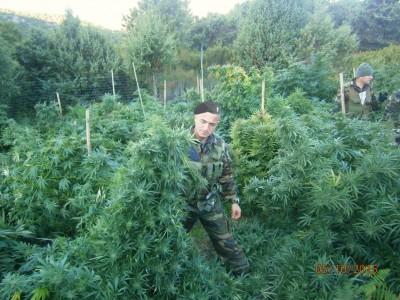 Uno scorcio della piantagione di marijuana rinvenuta a Talana
