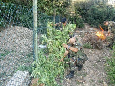 I Carabinieri distruggono le piante di marijuana scoperta a Talana