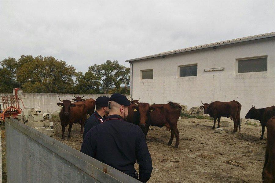 Il bestiame ritrovato dai Carabinieri