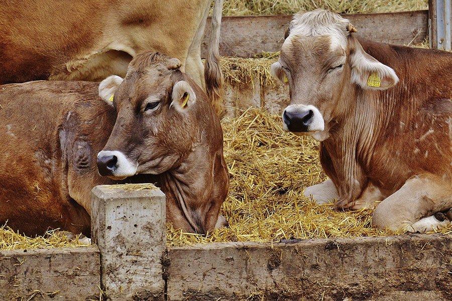 """Coldiretti Nord Sardegna. Supporto agli allevatori di bovini  con lo sblocco del bando """"riproduttori e fattrici"""""""