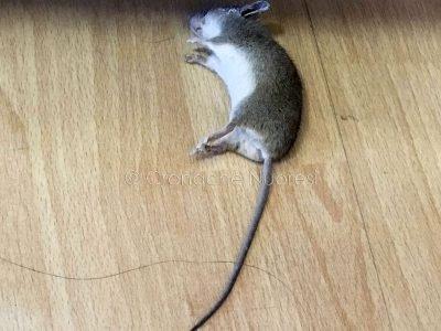 Il topo trovato al Centro dell'impiego di via Ballero