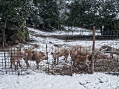 Maiali sotto la neve (foto S.Novellu)