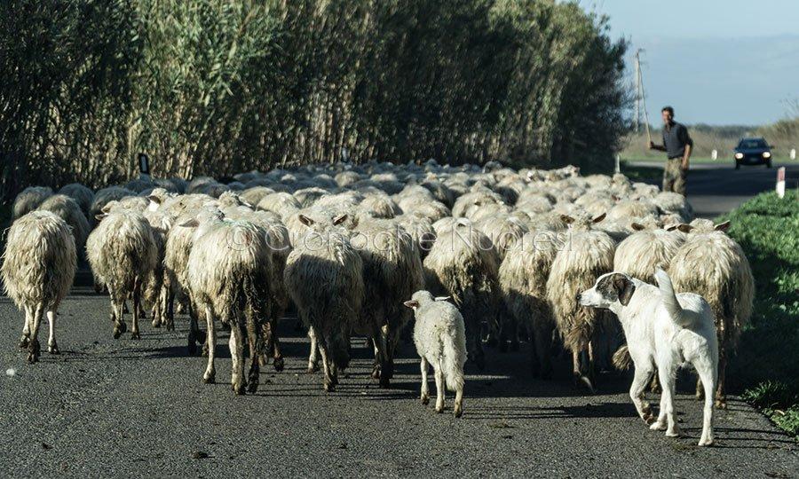 Gregge di pecore sulle strade del Sinis (foto S.Novellu)