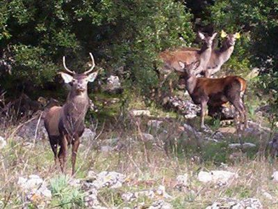 Alcuni esemplari di Cervo sardo