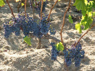 Grappoli d'uva in un vigneto nei pressi di Orgosolo (foto S.Novellu)