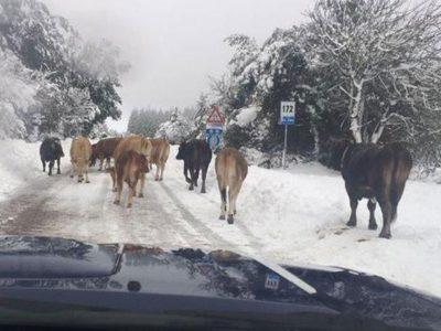 Animali sulla neve in Barbagia