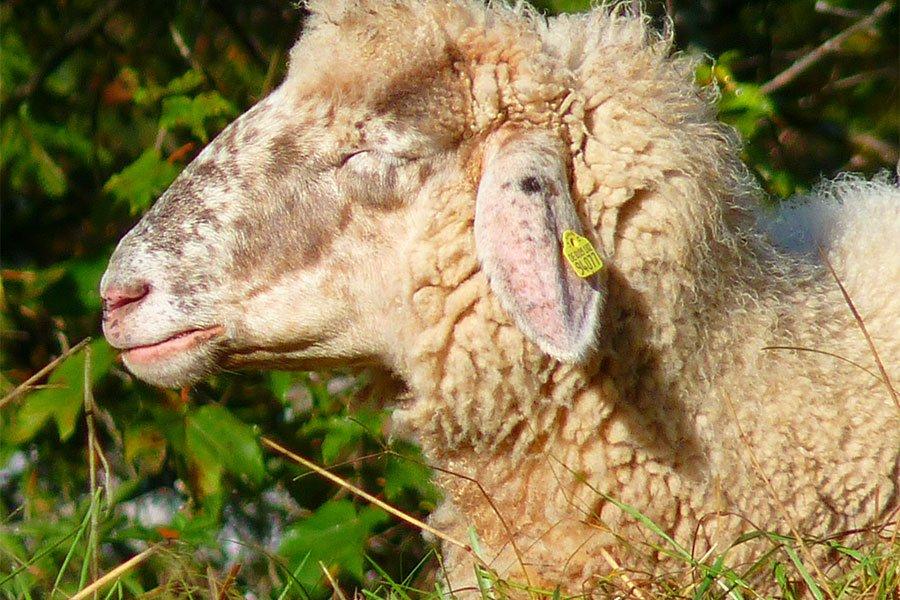 Blue tongue.  L'ATS passa al contrattacco: 23 veterinari  per arginare 723 focolai