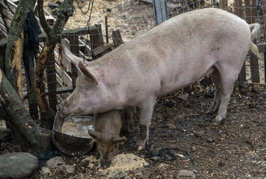 Un'allevamento di suini (foto C. Nuoresi)
