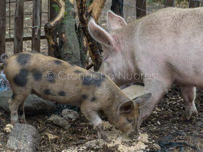 Un allevamento di suini (foto S.Novellu)
