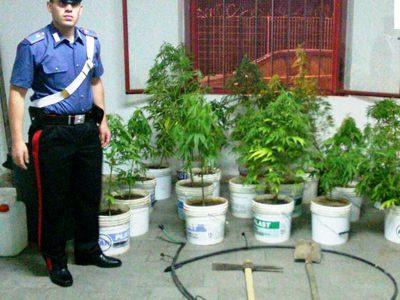 Le piante di cannabis rinvenute dai Carabinieri