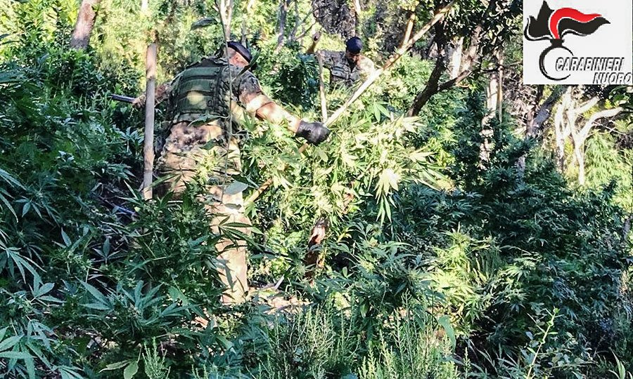 Alcune delle 650 piante di marijuana sequestrate a Talana