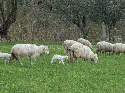 Pecore e agnelli al pascolo (foto S.Novellu)