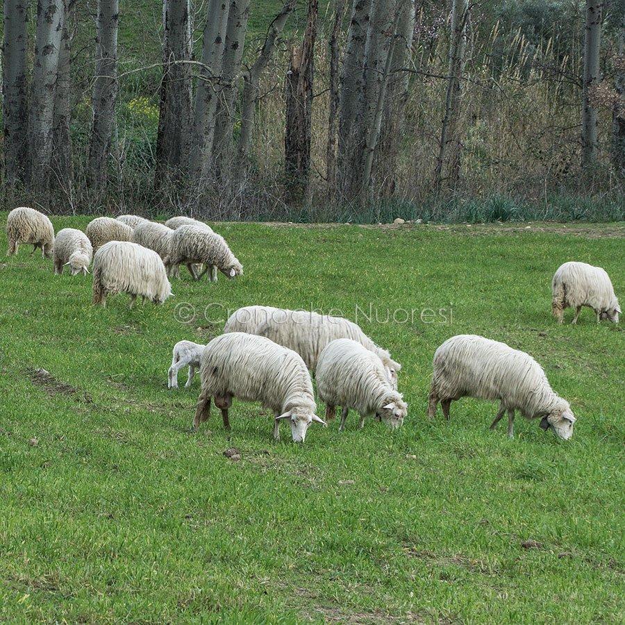 Pecore al pascolo (foto S.Novellu