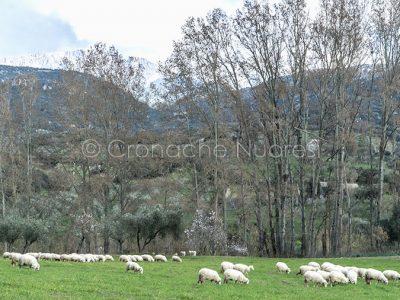 Pecore al pascolo in Barbagia (foto S.Novellu)