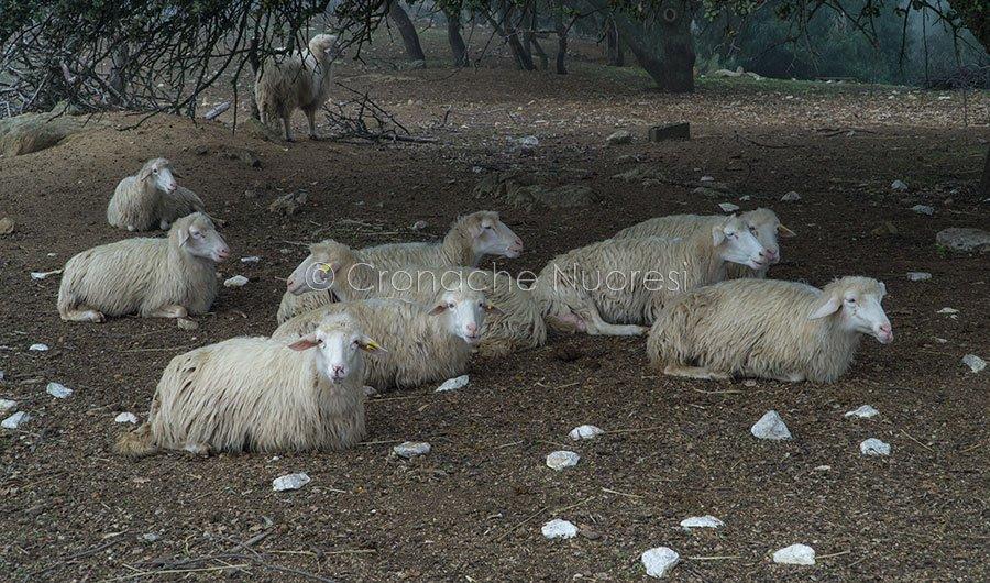 Un gregge di pecore (foto S.Novellu)