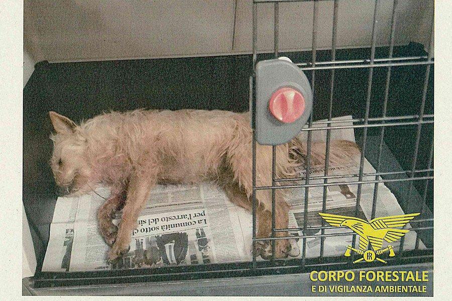 Il Cane sparato a Orosei e salvato dal Corpo Forestale
