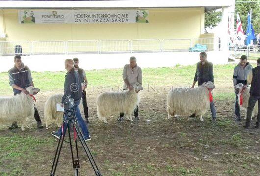 Macomer, Fiera Interprovinciale degli ovini e delformaggio (foto P.G.Vacca)