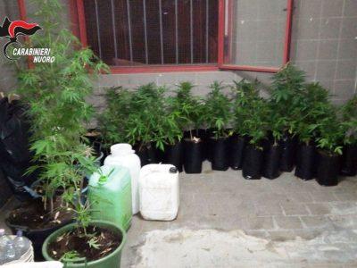 Una parte delle piante di marijuana sequestrate a Barisardo