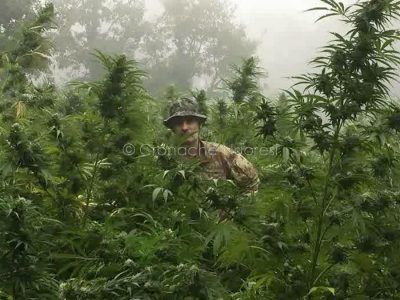 Un Carabiniere tra le piante di marijuana sequestrate a Mamoiada