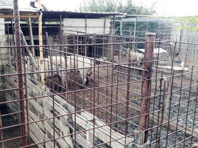 L'allevamento irregolare di maiali a Lotzorai