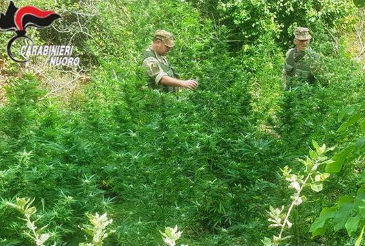 La coltivazione di Marijuana