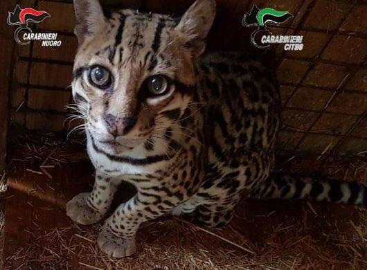 Il giaguaro sequestrato a Dorgali