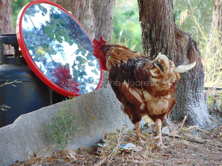 Gallo allo specchio nel Rifugio di Pepa