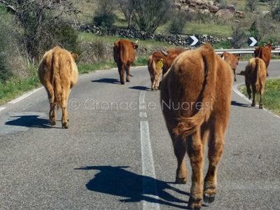 Animali incustoditi sulla strada (foto S.Novellu)