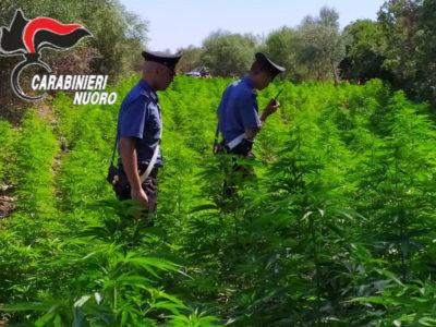 Budoni. Scoperta maxi piantagione di marijuana