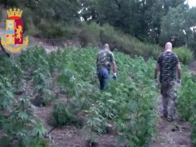 Orgosolo. Maxi piantagione di marijuana sequestrata dalla Polizia