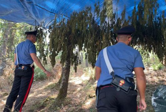 Carabinieri all'interno della piantagione di marijuana a Orani