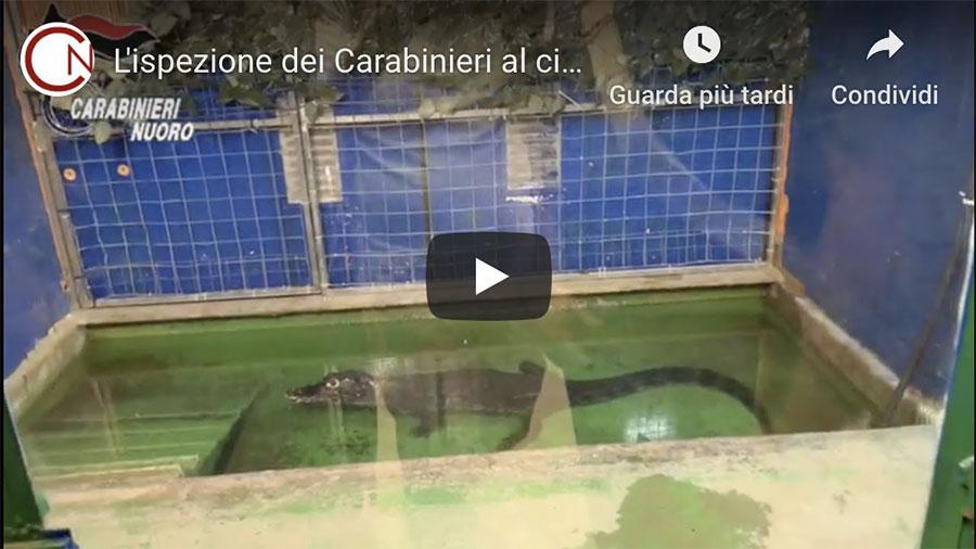 Il circo che ospita il caimano Jack al vaglio dei Carabinieri – VIDEO