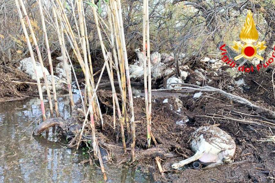 Rio Posada: l'ondata di piena provoca la morte di 80 pecore