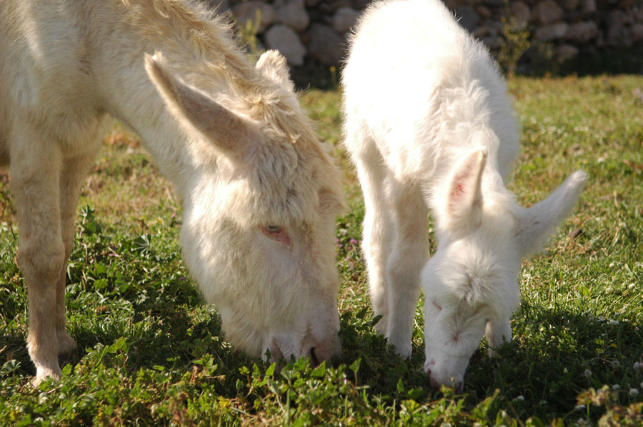 Gli asini bianchi dell'Asinara