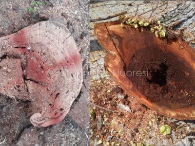 Nuoro, alcuni degli alberi abbattuti