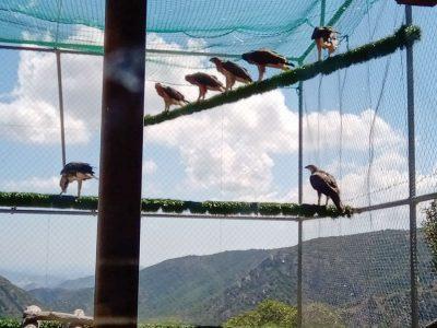 Le aquile liberate nel parco di Tepilora (foto M. Di Vittorio (Ispra) e C. Zucca (Anthus)