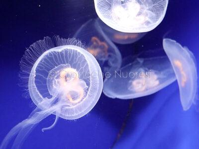Alcuni esemplari di medusa all'acquario di Cala Gonone