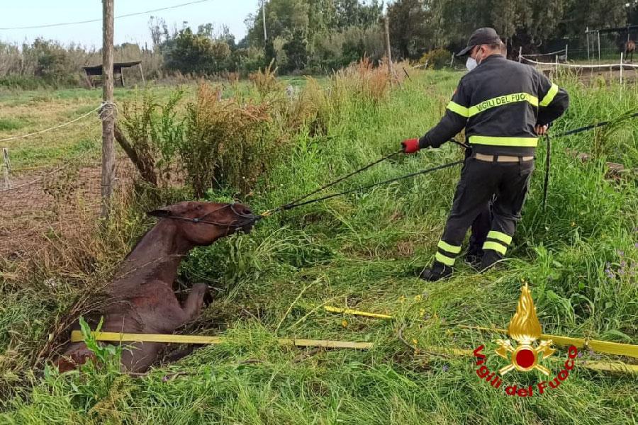 Purosangue precipita in fossato: salvato dai Vigili del Fuoco